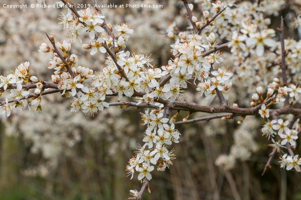 Blackthorn Blossom Canvas Print by Richard Laidler