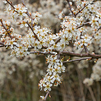 Buy canvas prints of Blackthorn Blossom by Richard Laidler
