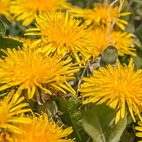 Buy canvas prints of Flowering Dandelions Closeup by Richard Laidler