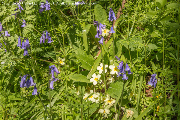Bluebells and Primroses Canvas Print by Richard Laidler