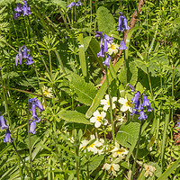 Buy canvas prints of Bluebells and Primroses by Richard Laidler