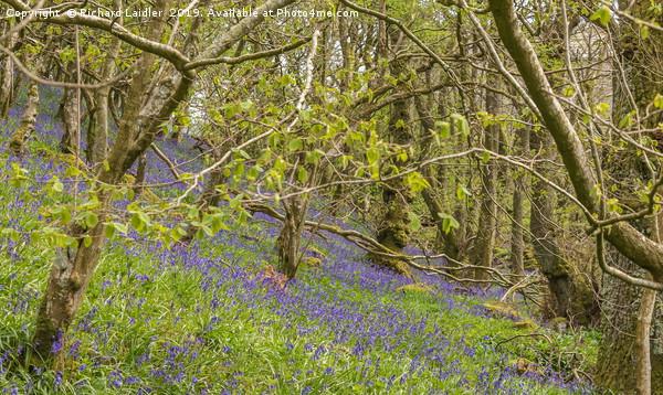 Springtime Bluebell Wood Canvas Print by Richard Laidler
