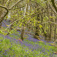 Buy canvas prints of Springtime Bluebell Wood by Richard Laidler
