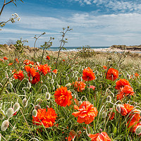 Buy canvas prints of Seaside Poppies by Richard Laidler