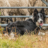Buy canvas prints of Molly by Richard Laidler