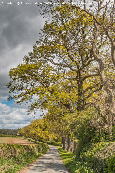 Spring Oaks at Thorpe, Teesdale (2) Canvas Print by Richard Laidler