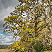 Buy canvas prints of Spring Oaks at Thorpe, Teesdale (2) by Richard Laidler