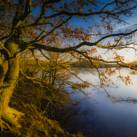 Buy canvas prints of Golden Lakeside Tree by Jeff Hobkirk