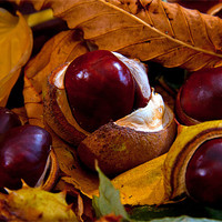 Buy canvas prints of Horse Chestnuts by Jeff Hobkirk