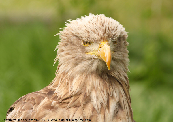 European white tailed eagle Canvas Print by goce risteski