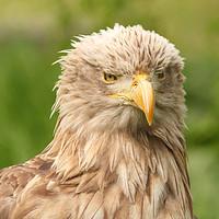 Buy canvas prints of European white tailed eagle by goce risteski