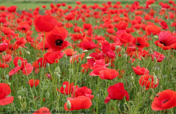 red poppy flowers Canvas Print by goce risteski