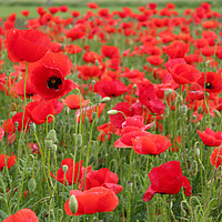 Buy canvas prints of red poppy flowers by goce risteski