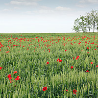 Buy canvas prints of green wheat field spring scene by goce risteski