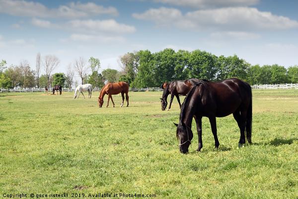herd of horses grazing ranch scene Canvas Print by goce risteski