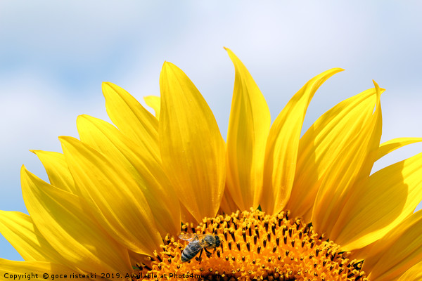 bee on sunflower summer season Canvas Print by goce risteski
