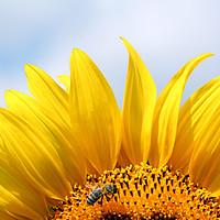 Buy canvas prints of bee on sunflower summer season by goce risteski