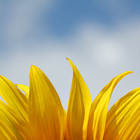 Buy canvas prints of sunflower leaf and blue sky nature background  by goce risteski