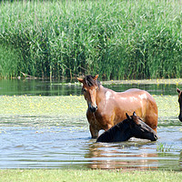 Buy canvas prints of horses in water nature scene by goce risteski
