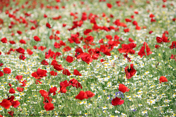 poppy and camomile wild flowers spring season Canvas Print by goce risteski