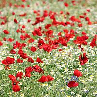Buy canvas prints of poppy and camomile wild flowers spring season by goce risteski