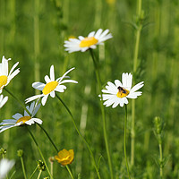 Buy canvas prints of meadow with white wild flowers and bee by goce risteski