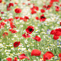 Buy canvas prints of red and white flowers spring season by goce risteski