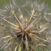 Buy canvas prints of dandelion close up spring season by goce risteski
