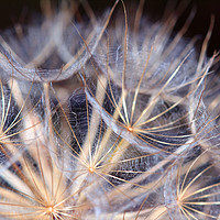 Buy canvas prints of dandelion close up by goce risteski