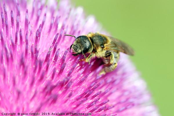 bee on flower close up Canvas Print by goce risteski