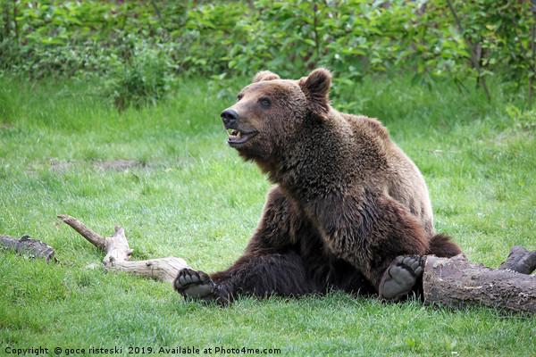 brown bear sitting on field Canvas Print by goce risteski