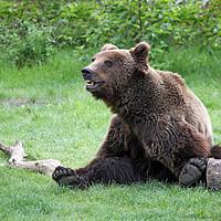 Buy canvas prints of brown bear sitting on field by goce risteski