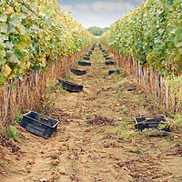 Buy canvas prints of the grape harvest autumn season by goce risteski