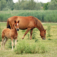 Buy canvas prints of brown foal and horse on pasture by goce risteski