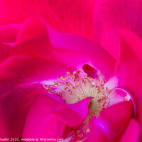 Buy canvas prints of pink rose by tammy mellor
