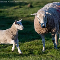 Buy canvas prints of spring lamb  by tammy mellor