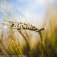 Buy canvas prints of Wheat field. Ears of golden wheat close up in a rural scenery under Shining Sunlight. Background of ripening ears of wheat field. by Joaquin Corbalan