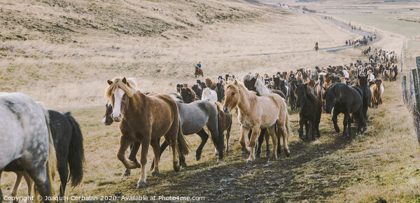Herd of lovely Icelandic horses riding towards the meeting at the farm Acrylic by Joaquin Corbalan