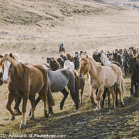 Buy canvas prints of Herd of lovely Icelandic horses riding towards the meeting at the farm by Joaquin Corbalan