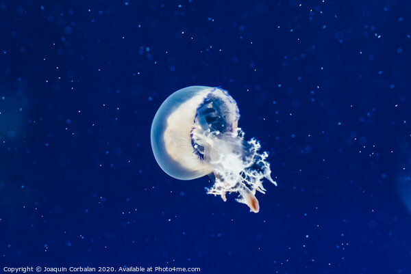Jellyfish floating and flowing transparently in a fishbowl. Framed Print by Joaquin Corbalan