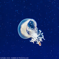 Buy canvas prints of Jellyfish floating and flowing transparently in a fishbowl. by Joaquin Corbalan