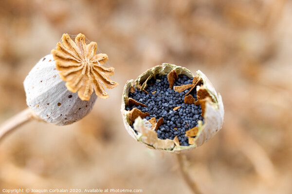 Macro detail of the poppy seeds inside the plant without collecting yet. Framed Print by Joaquin Corbalan