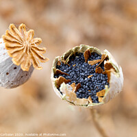 Buy canvas prints of Macro detail of the poppy seeds inside the plant without collecting yet. by Joaquin Corbalan