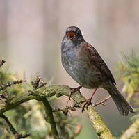 Buy canvas prints of Dunnock singing for a mate by Donna Joyce