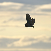 Buy canvas prints of Barn Owl at Sunset by Donna Joyce