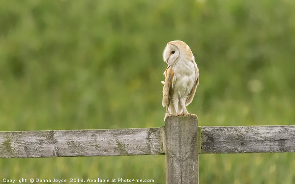 Barn Owl Canvas print by Donna Joyce