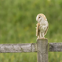Buy canvas prints of Barn Owl by Donna Joyce