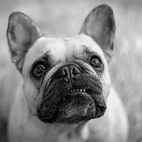 Buy canvas prints of French Bulldog portrait by Donna Joyce