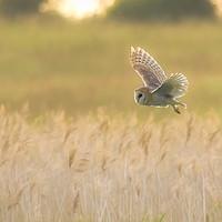 Buy canvas prints of Barn Owl by Donna Joyce