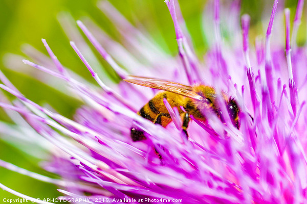 thistle bee Framed Mounted Print by D.APHOTOGRAPHY